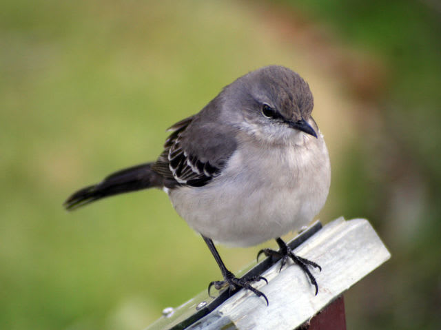 the common mockingbird also the state bird of arkansas mississippi tennessee and texas