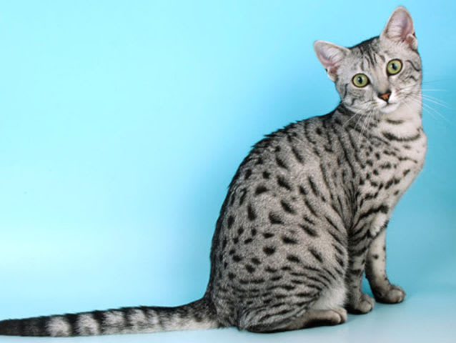 Playbuzz What Cat Breed Are You