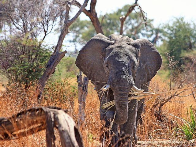 elefante na África