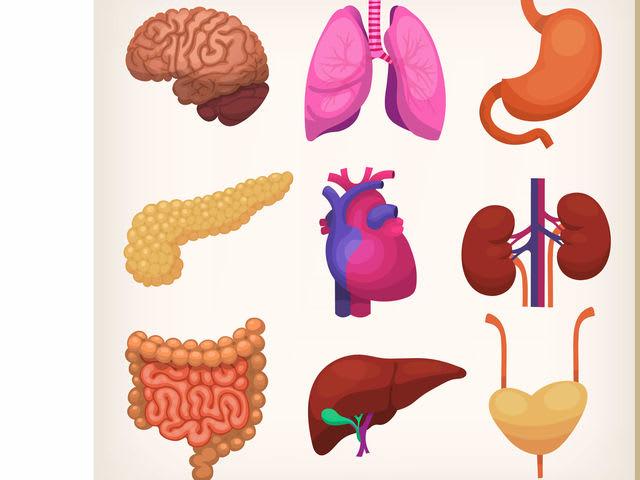 Cu nto sabes de anatom a playbuzz - Interior cuerpo humano organos ...