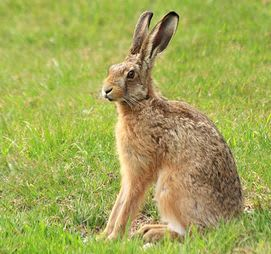 A species of prairie rabbit