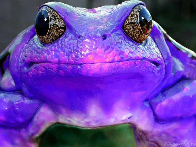 The Tongue-Toed Purple Frog has a mouth in each of its feet with which it eats.