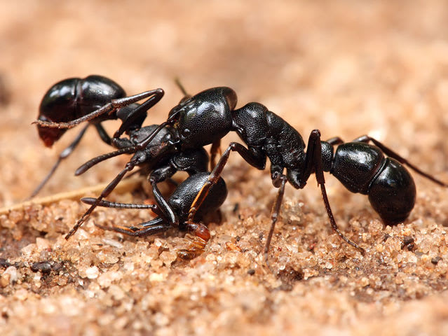 Which of these is a slang word for ants or flying ants?