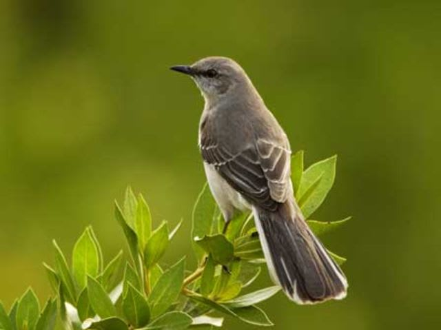 These Southern states claim the Mockingbird as their state bird: