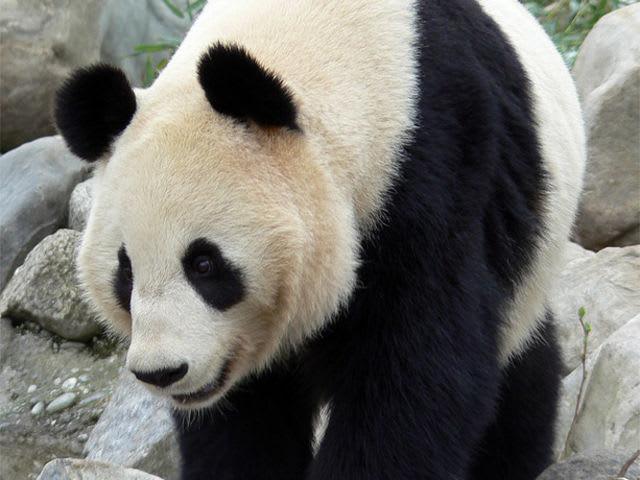 Giant pandas food