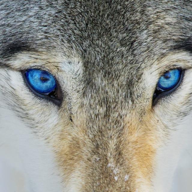 Wolf/ Dog