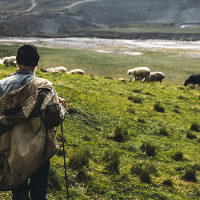 Roaming Shepherd