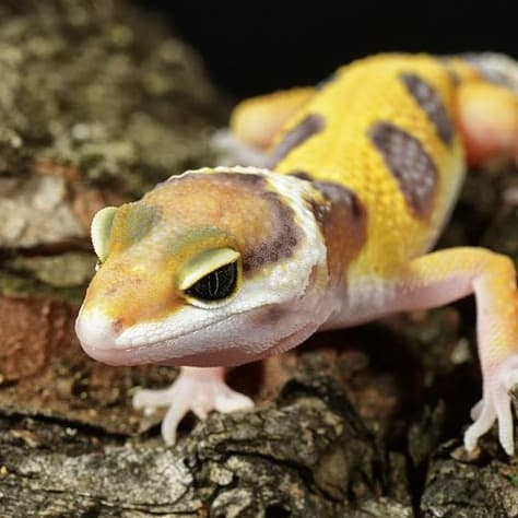 YELLOW SPOTTED LIZARD