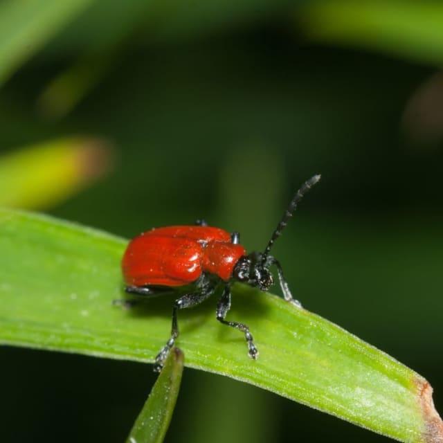 By crushing red beetles