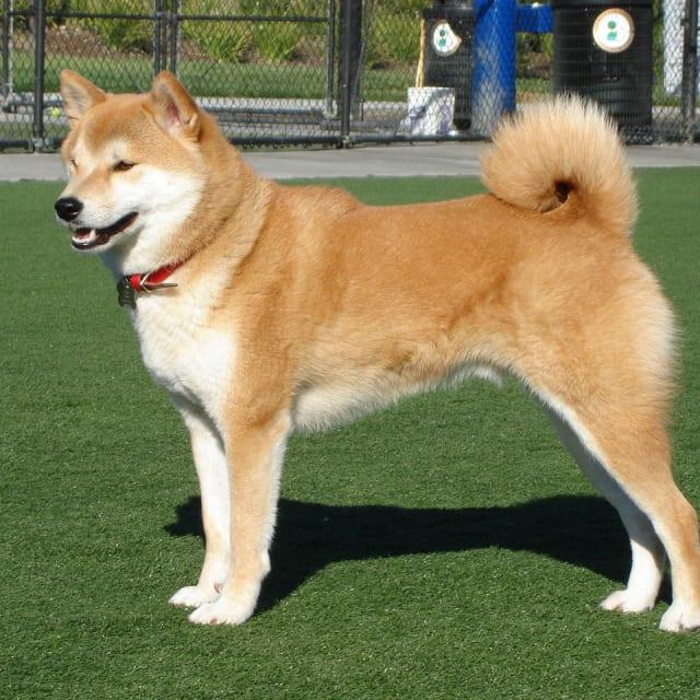 Dog/Doge/Woofer