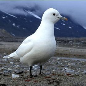 Белую чайку