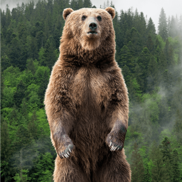 The Stoic Grizzly