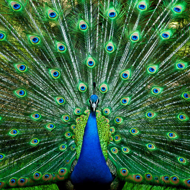 The Gorgeous Peacock