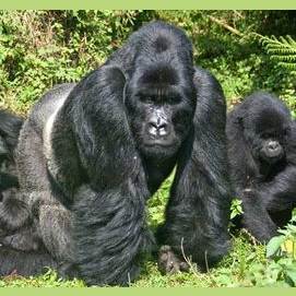 Tribe of Gorillas