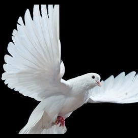 A gorgeous dove to represent peace and love.