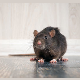 A rat that lives in the trash and I rescue and bring home