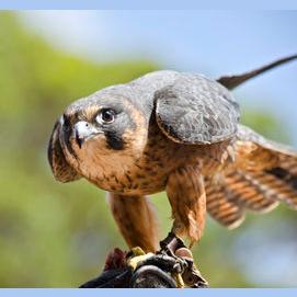Mighty Falcon