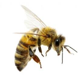 Пчёлы!