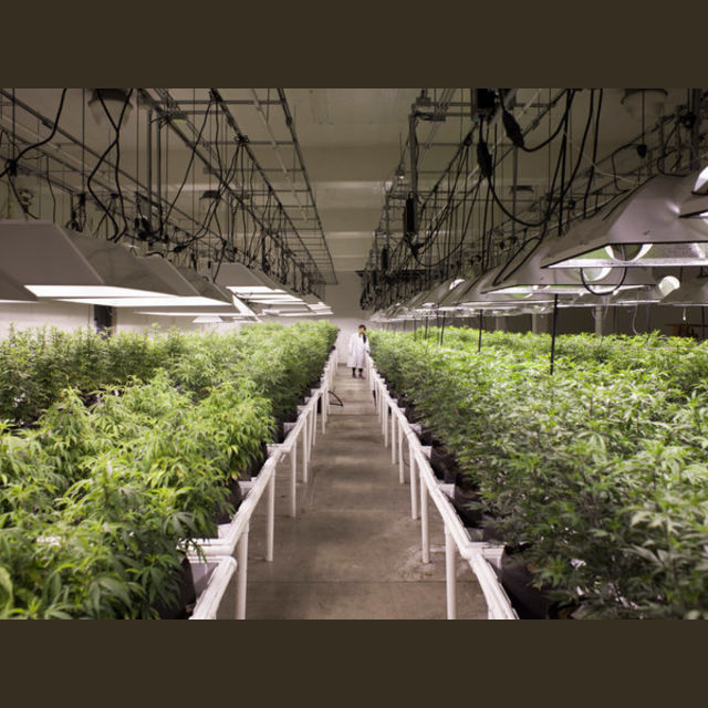 Or make your money as a master grower in a legal state?