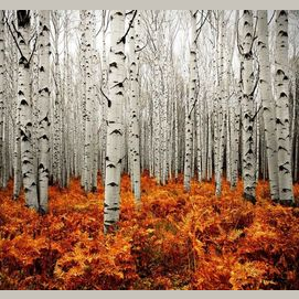 Forests of Aspen