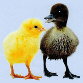 Chick or duck