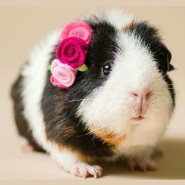Rodent (guinea pigs, mice, etc.)