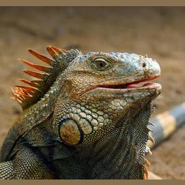 Reptile (Snake, iguana, etc.)