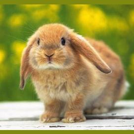 Bunny