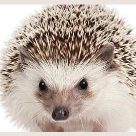 Hedgehog... Duh?