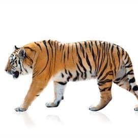Cat or Tiger