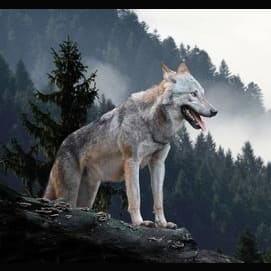 Dog or Wolf