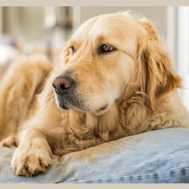 The Golden-couch Retriever