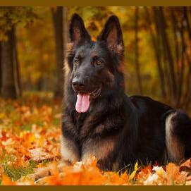 The Peak of Dog Ingenuity, a German Shepherd