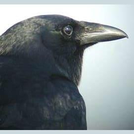 Creative Crow