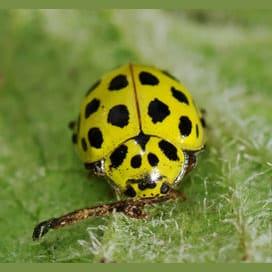 Outcast ladybug