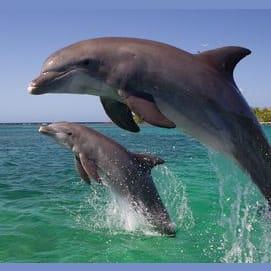 Tireless Dolphin