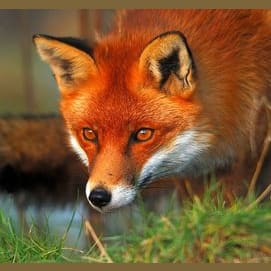 Stealthy Red Fox