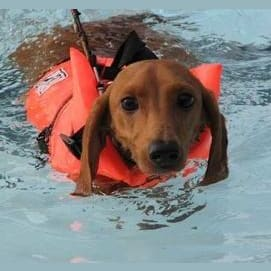 Dogs with armbands to help them swim