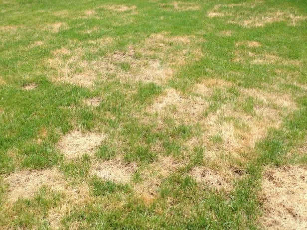 Beer can save you from having a disgraceful lawn like this.