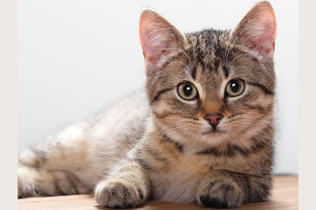 Which Cat Breed Are You