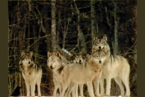 What Rank in a Wolf Pack Are You?