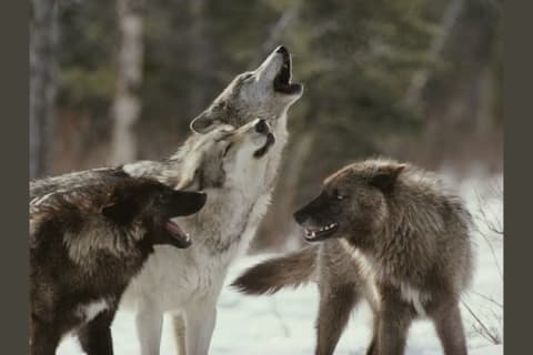 Which Position would you be in a Wolf Pack?
