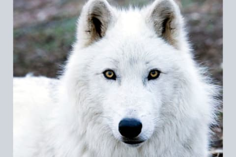 What Kind Of Wolf Are You?