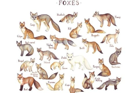 What Fox Breed Are You