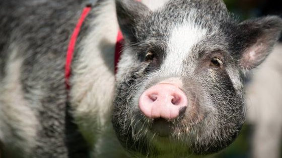 If you were a pig, which breed would you be?  Find out which breed of pig best matches your personality.