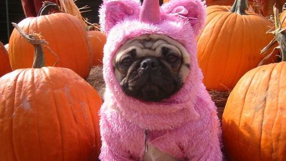 The difference between a French Bulldog and a Pug could mean the difference between your cat dressing up as a Unicorn or even Jon Snow from Game of Thrones this Halloween. Choose wisely, and find out what your pet's Halloween costume should be this year!