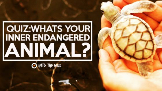 Have you ever wondered which endangered animal you are? Maybe you already were, in a past life... Find out what your inner endangered animal is!  Visit www.frontier.ac.uk to check out our conservation and volunteering projects and visit our blog at blog.frontiergap.com