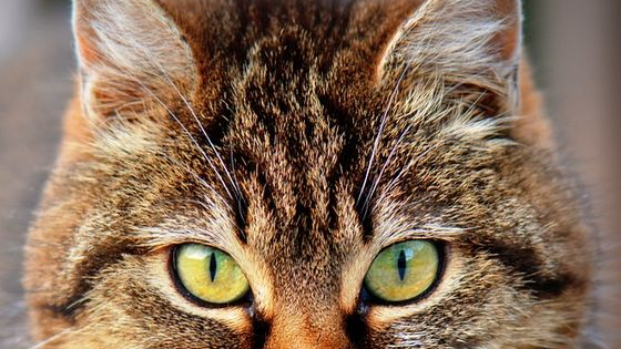 """Have you ever wondered for countless hours what kind of cat you are? Have you ever sat puzzled, wondering """"Tabby or Calico?""""? Well, here's your chance to find out! Take this quiz and find out what type of cat you are!  DISCLAIMER: This quiz is actually for non-cat creatures, wondering what kind of cat they are. It's not for actual cats. Actual cats KNOW what type of cat they are, and therefore don't need to click on this quiz. Thank you."""