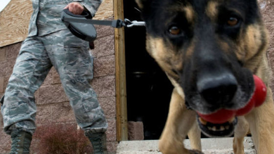 How much do you know about the dogs who work in the military? With honor and pride, these four legged soldiers keep America (and their handlers) safe by keeping an eye and nose on alert! Take the quiz to see if you know all there is to know about these four legged military heroes!