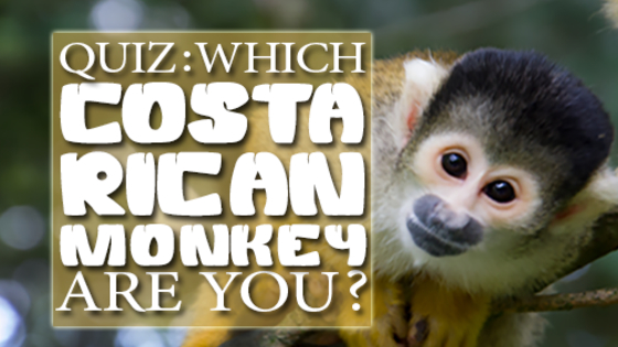 In the Osa Peninsula there live 4 types of monkeys: Howler monkeys, Spider monkeys, Squirrel monkeys and White-faced capuchins. Which monkey can you most relate to? Do the quiz and find out!